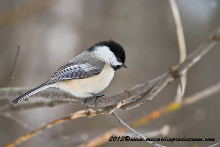 Chickadee Picture-513