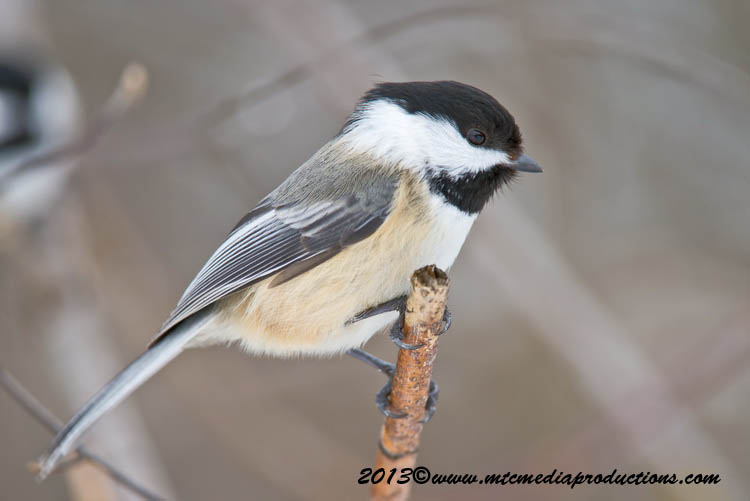 Chickadee Picture-514