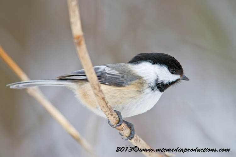 Chickadee Picture-515