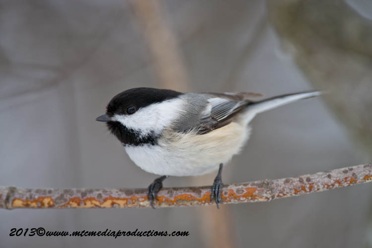 Chickadee Picture-516