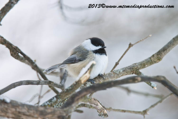 Chickadee Picture-517