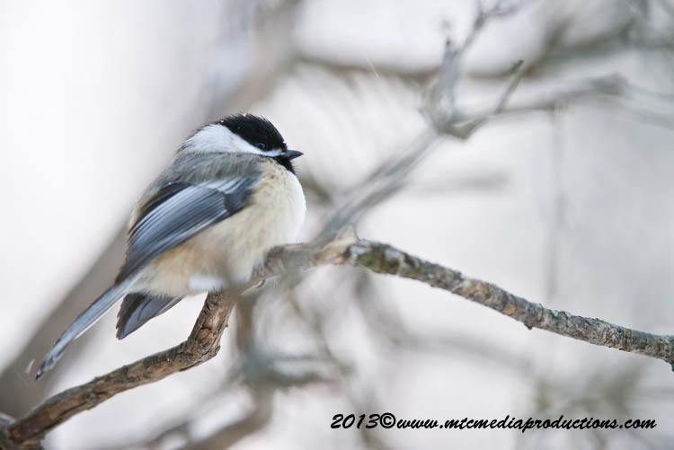 Chickadee Picture-518