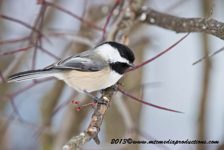 Chickadee Picture-519