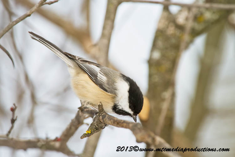 Chickadee Picture-520