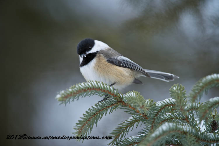 Chickadee Picture-521