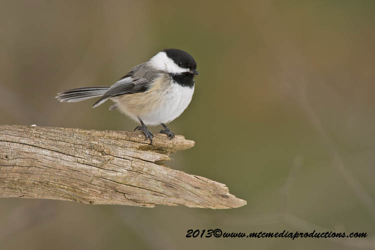 Chickadee Picture-522