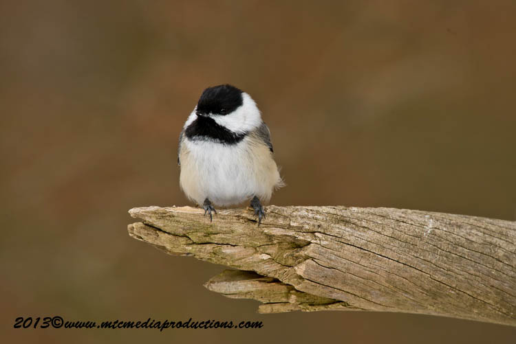 Chickadee Picture-523