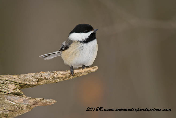 Chickadee Picture-524
