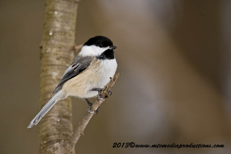 Chickadee Picture-525