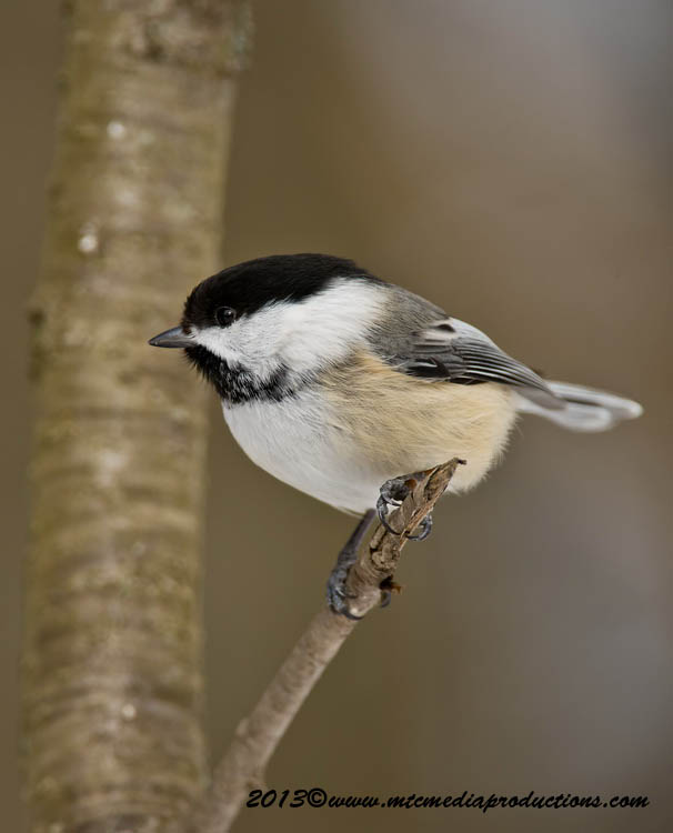 Chickadee Picture-526