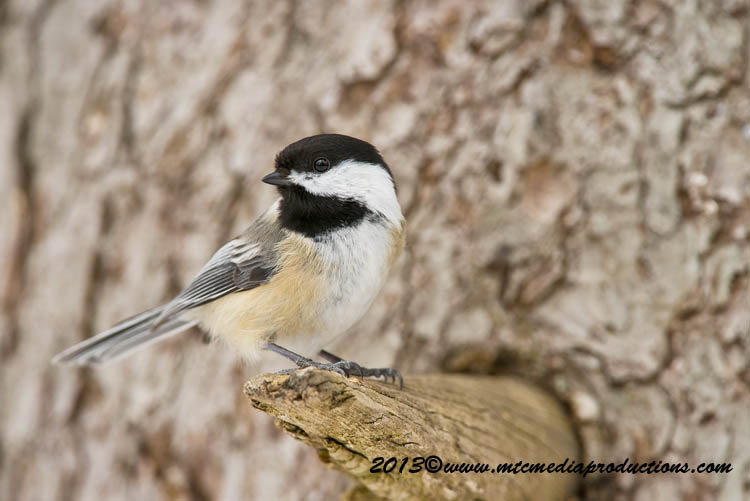 Chickadee Picture-527