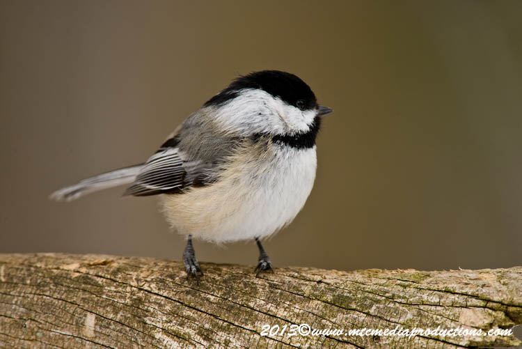 Chickadee Picture-528