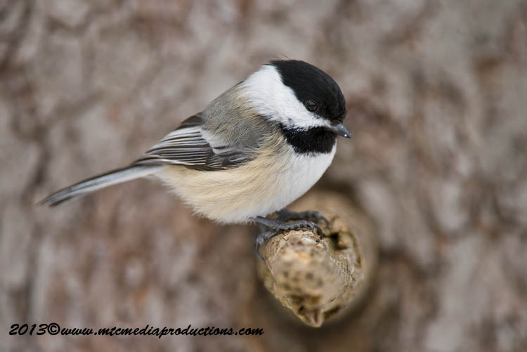 Chickadee Picture-529
