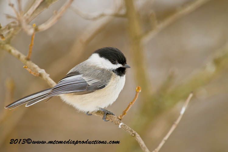 Chickadee Picture-530