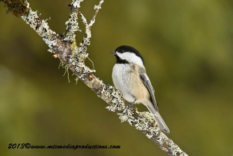 Chickadee Picture-531