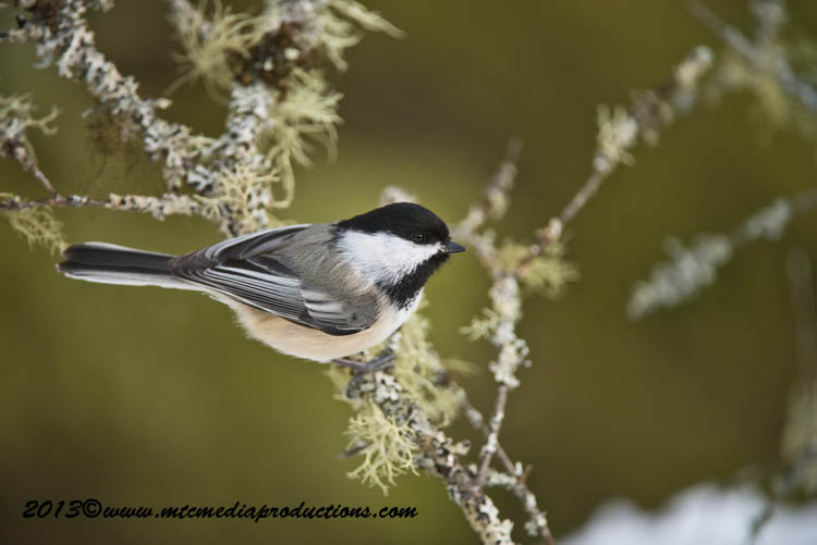 Chickadee Picture-532
