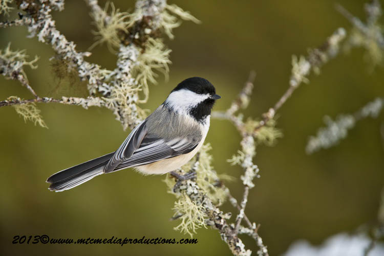 Chickadee Picture-533