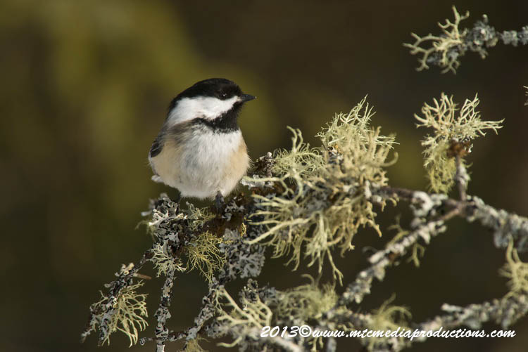 Chickadee Picture-534
