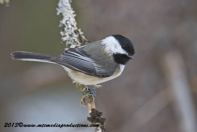 Chickadee Picture-535