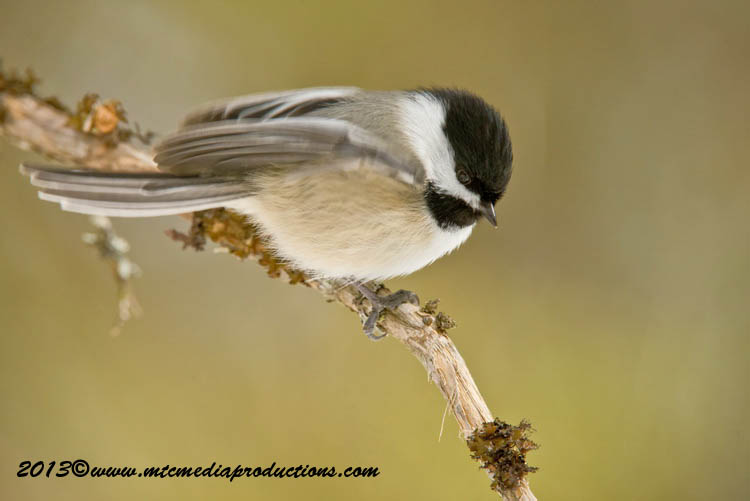 Chickadee Picture-536
