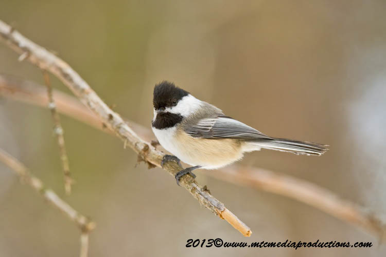Chickadee Picture-537