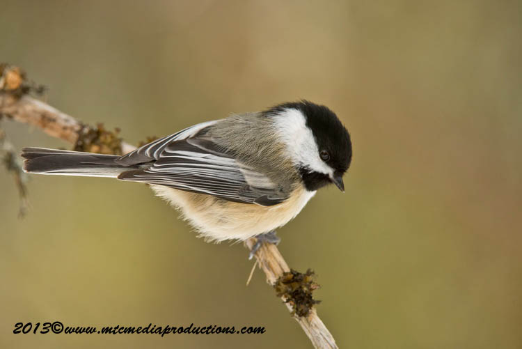 Chickadee Picture-538