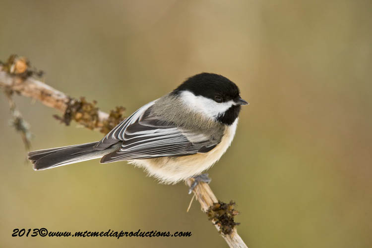 Chickadee Picture-539