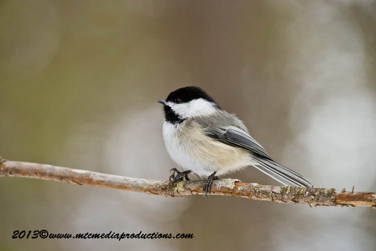 Chickadee Picture-540