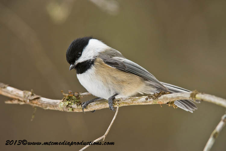 Chickadee Picture-541