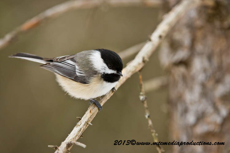 Chickadee Picture-542