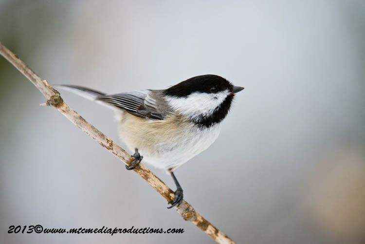 Chickadee Picture-543