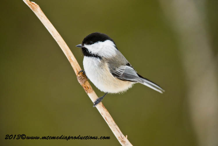 Chickadee Picture-544