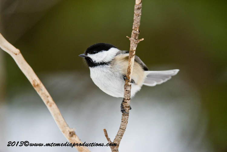 Chickadee Picture-545