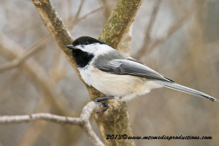 Chickadee Picture-546