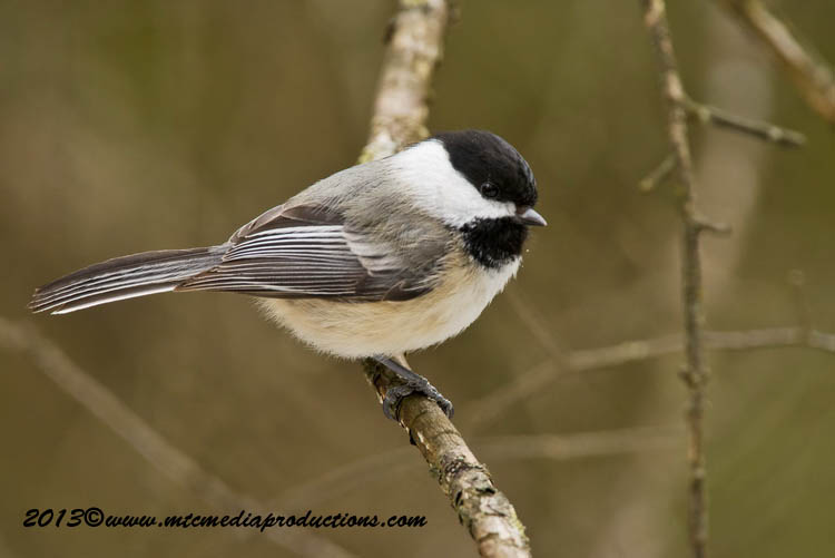 Chickadee Picture-547