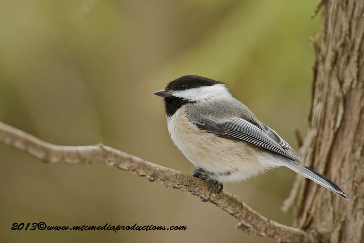 Chickadee Picture-548