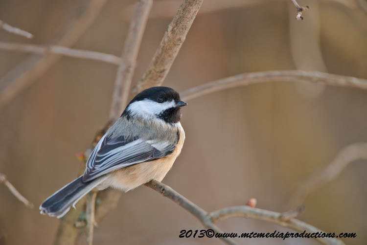 Chickadee Picture-549