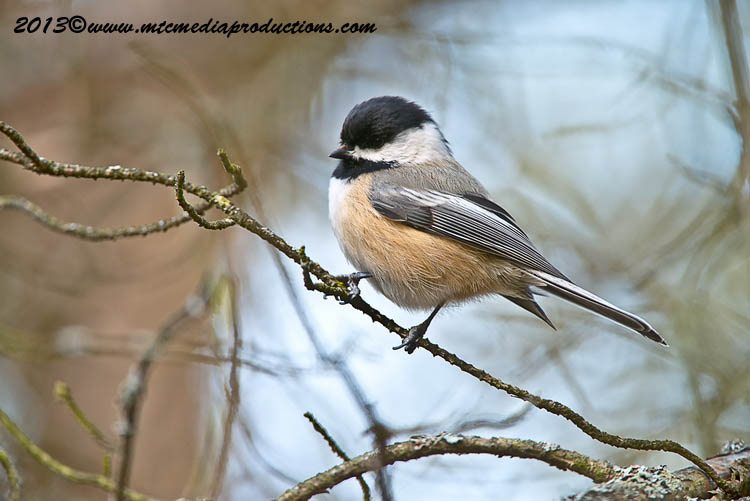Chickadee Picture-551