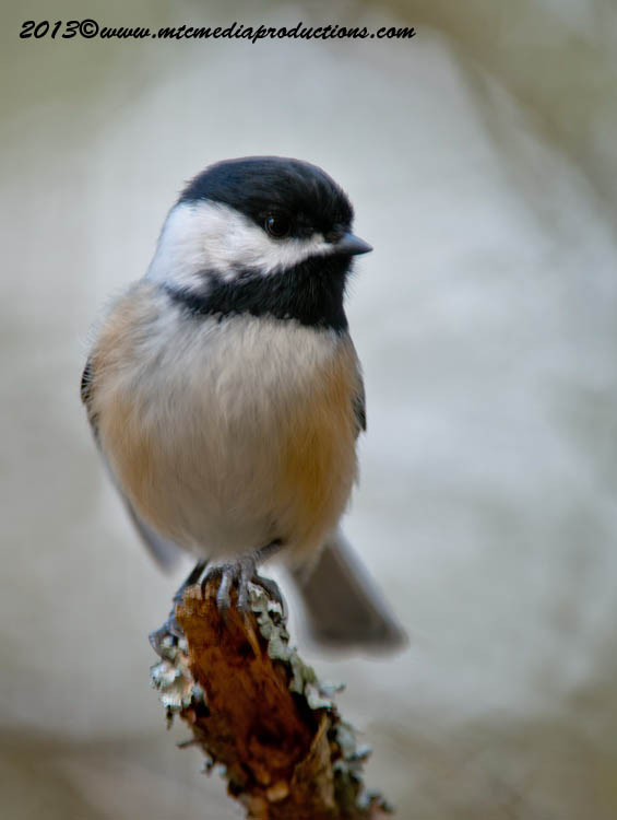 Chickadee Picture-552