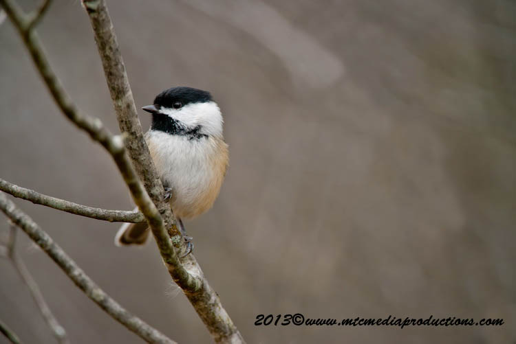 Chickadee Picture-553