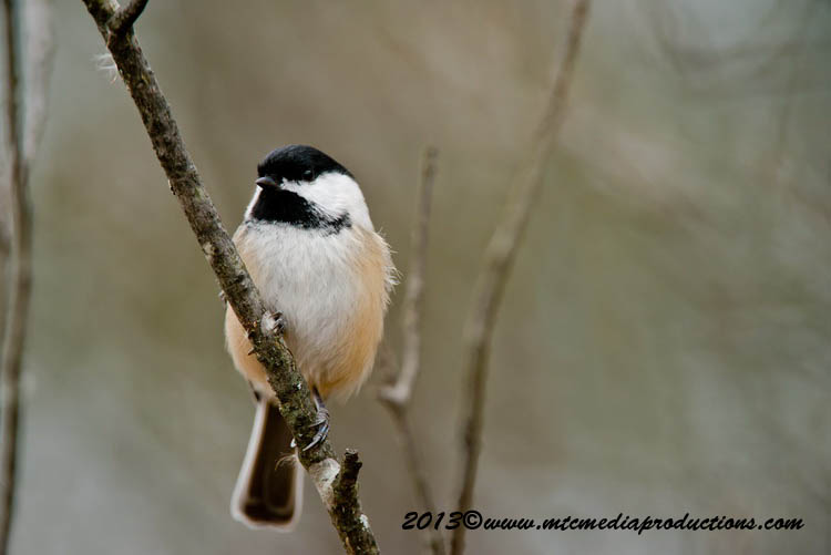Chickadee Picture-554