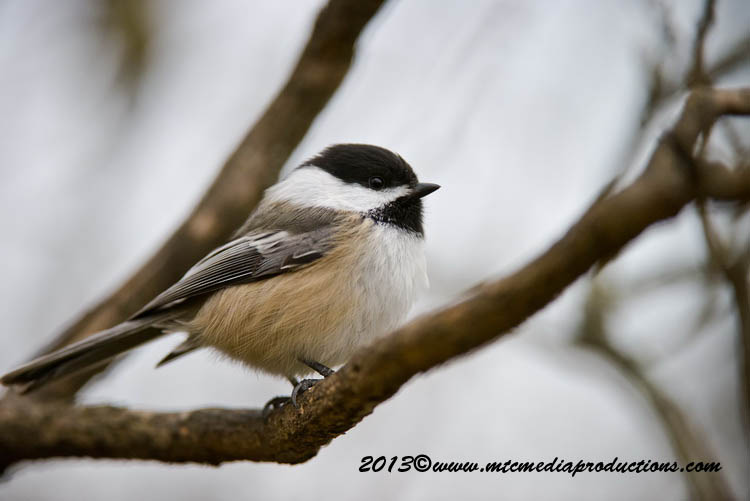 Chickadee Picture-555