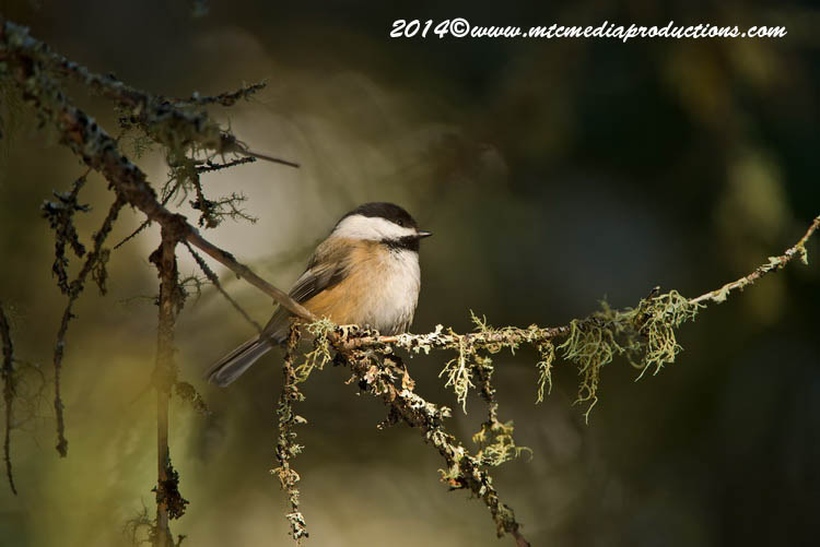Chickadee Picture-556