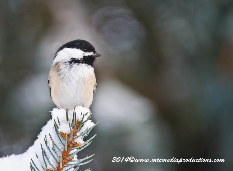 Chickadee Picture-557