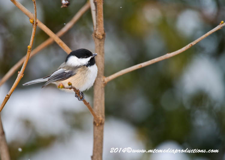 Chickadee Picture-558