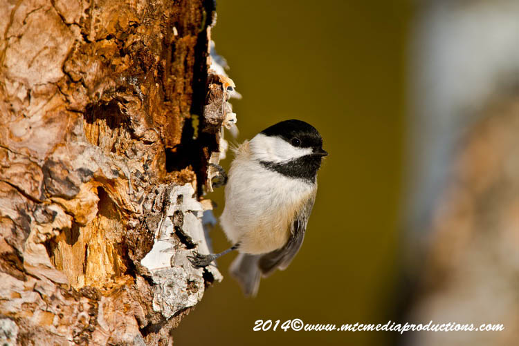 Chickadee Picture-559