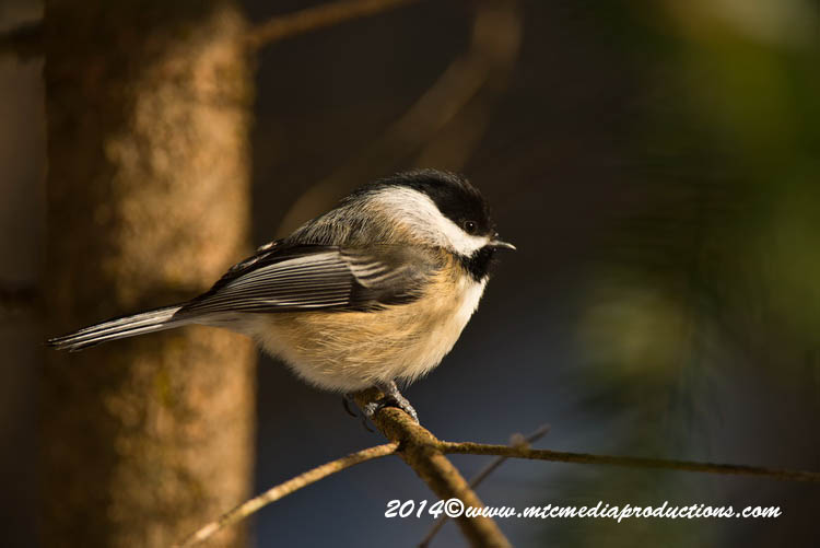 Chickadee Picture-560