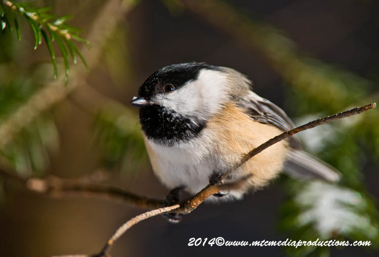 Chickadee Picture-561