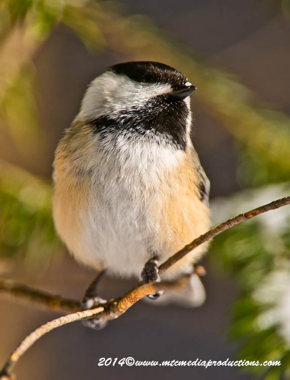 Chickadee Picture-562