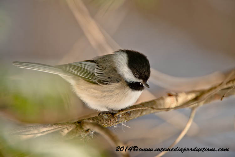 Chickadee Picture-563